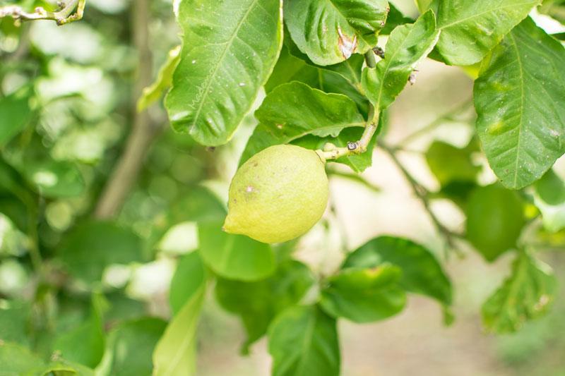 citron-jardin-sicile